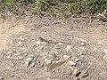 Huico pinto del noreste (Aspidoscelis gularis) camuflado.jpg