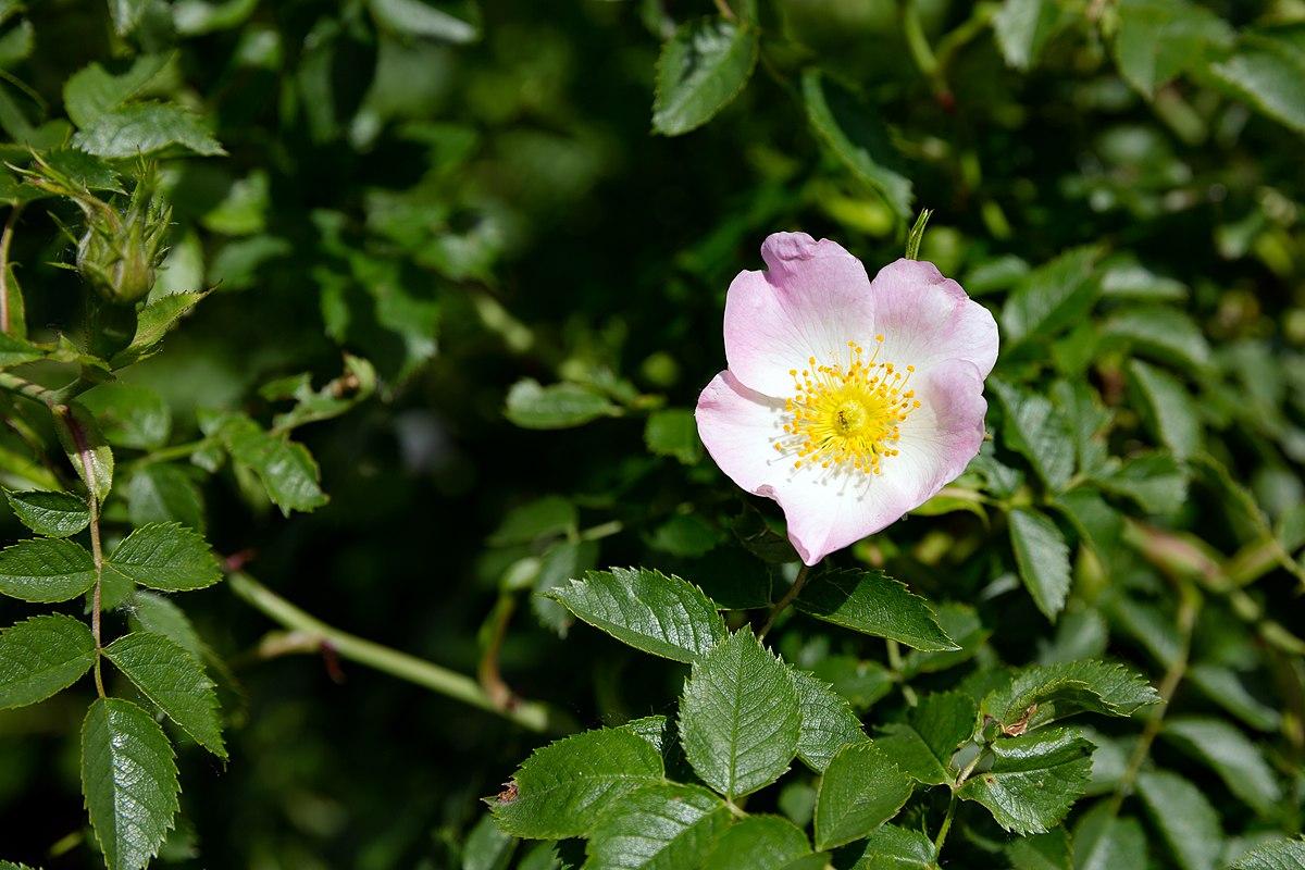 Rosa canina - Wikispecies