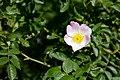 Hunds-Rose Rosa canina Nationalpark Donau-Auen Lobau Mai 2016 02.jpg