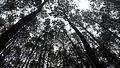 Hutan Pinus Imogiri (2).jpg
