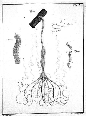 Abraham Trembley - A hydra as depicted in Trembley's 1744 book.