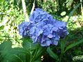Hydrangea plant with blue flower.jpg