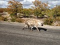 Hyena walking away.jpg