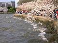 IMG 2365 - Washington DC - Tidal Basin - Cherry Blossoms.JPG