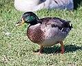 If It Looks Like a Duck and Walks Like a Duck... (6300955760).jpg