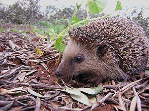 A young hedgehog (Erinaceus europaeus)