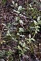 Ilex.aquifolium2.-.lindsey.jpg