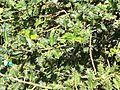 Ilex aquifolium ferox 2.JPG