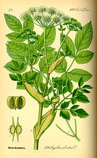Illustration Angelica silvestris0.jpg