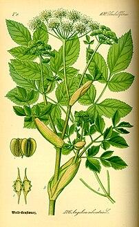 Wild Angelica (Angelica sylvestris) from Thomé, Flora von Deutschland, Österreich und der Schweiz 1885