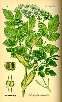 Illustration Angelica silvestris0.jpg