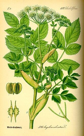 Angelica - Wild angelica (Angelica sylvestris) from Thomé, Flora von Deutschland, Österreich und der Schweiz 1885