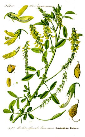 Illustration Melilotus officinalis1.jpg