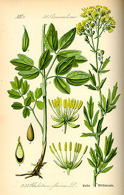 Gelbe Wiesenraute (Thalictrum flavum), Illustration.