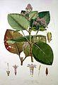 Illustration of the Nueva Quinologia of Pavon Wellcome L0017827.jpg