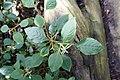 Impatiens purpureo-violacea-Jardin botanique Meise (6).jpg