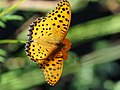 Indian Fritillary Butterfly ツマグロヒョウモン (229048367).jpeg