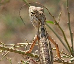 calotes image indian garden lizard calotes versicolor w2 img 6829 - Garden Lizard