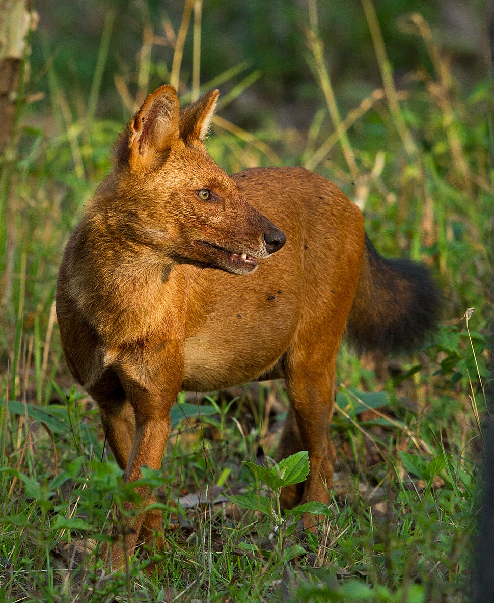 Indian wild dog by N. A. Naseer
