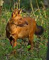 Indian wild dog by N. A. Naseer.jpg