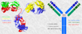 Inmunoglobulinas-estructura.png