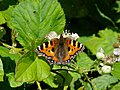 Insect red admiral butterfly 20070620 0082.jpg