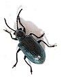 Insecto, Bastavales, Brión, Galiza, 090630 08.JPG