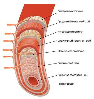Строение стенки кишечника.