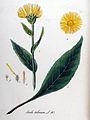 Inula helenium — Flora Batava — Volume v11.jpg