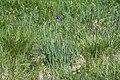 Iris sibirica in natural monument Novoveska draha in 2011 (36).JPG