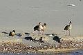 Israel. Egyptian Geese (6497643705).jpg