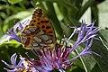 Issoria.lathonia.2.jpg