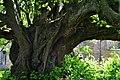 Ivanchytsi Rozyshchenskyi Volynska-Ivanchytsivska lypa nature monument-details-1.jpg