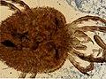 Ixodidae (YPM IZ 098226).jpeg