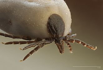 Ixodes ricinus - Close-up view (engorged)
