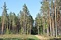 Izcirtums pie stigas, Tīnūžu pagasts, Ikšķiles novads, Latvia - panoramio.jpg