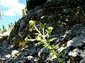 JASONIA GLUTINOSA - MONTSEC - IB-636 (Te de roca).jpg