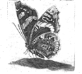 JCWeyerman - VIII Plate of butterfly by Maria Sybille Merian.png