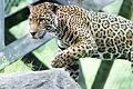 Jaguar Climbing Rocks (19216964196).jpg