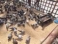 Jalali Pigeons of Hajrat Shahjalal Dargah, Sylhet, Bangladesh.jpg