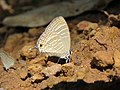 Jamides celeno - Common Cerulean mud puddling at Peravoor (14).jpg
