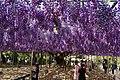 Japanese wisteria, Ashikaga Flower Park 11.jpg