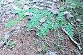 Jasminum grandiflorum 02.jpg