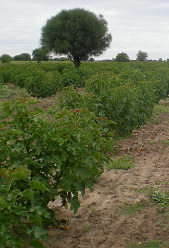 Jatropha curcas - Jatropha plantation in the dry center/west of the Paraguay Chaco