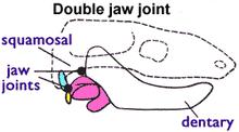 Morganucodontidae ve diğer ara formlarda her iki çene tipi de görülür:  Mandibula alt çene -squamosal (ön) ve Os articulare-dördül kemiği (arka).