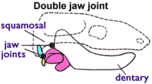 Evolution of mammalian auditory ossicles -  Morganucodontidae and other transitional forms had both types of jaw joint: dentary-squamosal (front) and articular-quadrate (rear).