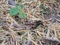 Jerdon's Nightjar (Caprimulgus atripennis) DSCN0976 01.jpg