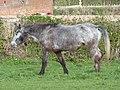 Jeune cheval grisonnant oeil bleu dénutrition.jpg