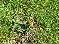 Jielbeaumadier papillon belle-dame jr strasbourg 2009.jpeg