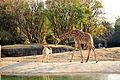 Jirafa y gacela Zoológico de Chapultepec.jpg